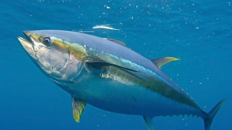 tonno-gigante