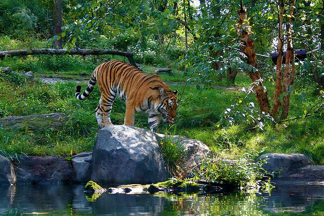 Nuovi contagi tra gli animali: positivi 4 tigri e 3 leoni nello zoo di New York
