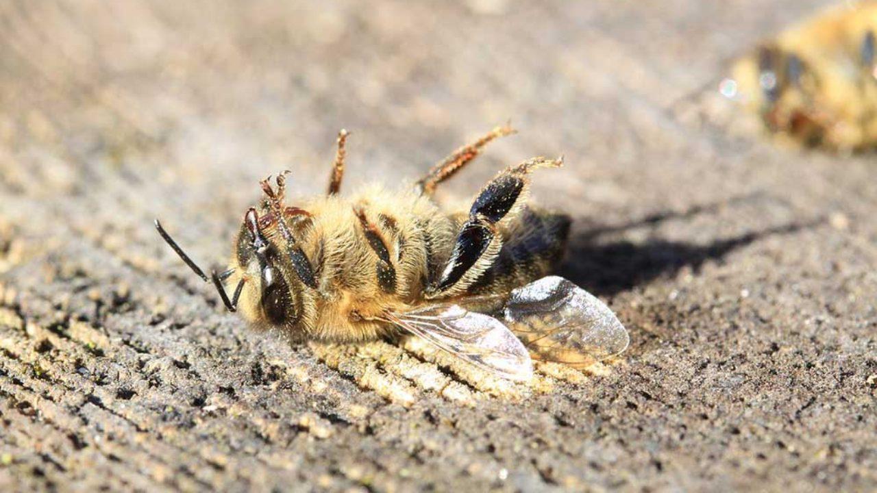 La denuncia di Greenpeace: è strage di api
